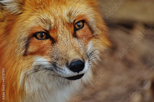 Canvastavla red fox portrait