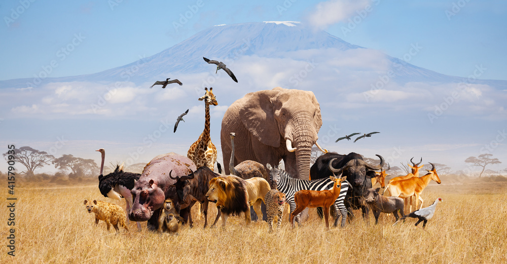 Fototapeta Group of many African animals giraffe, lion, elephant, monkey and others stand together in with Kilimanjaro mountain on background