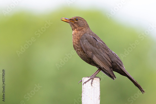 Stampa su Tela Brown female blackbird with open beak and green blurry background