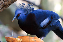 Close Up Blue Pigeon, Victorian Crowned Pigeon