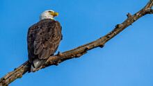 Lone Bald Eagle On A Branch