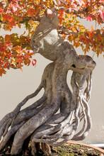 Roots On A Bonsai Tree