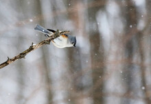 Bird Landing On Branch In Winter