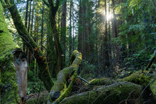 Fallen Trees In Muir Woods, California