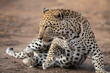 canvas print picture Leopard male resting in Sabi Sands Game Reserve in the Greater Kruger Region in South Africa