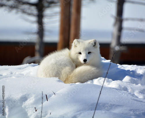 Tablou Canvas In winter arctic fox (Vulpes lagopus), also known as the white, polar or snow fo