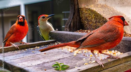 Fototapeta Birds at feeder
