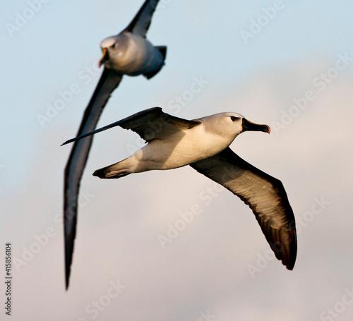Fototapeta Atlantische Geelsnavelalbatros, Atlantic Yellow-nosed Albatross, Thalassarche ch