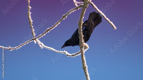 Fototapeta premium Crow sits on a frozen branch