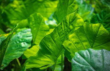 Closeup Shot Of A Giant Green Tropical Plant