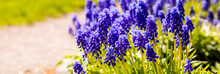 Bed Of Bluebells Or Grape Hyacinth Or Muscari Armeniacum.Muscari Plentifully Blossom Original Inflorescences With Small Blue Flowers.