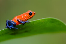 Tiny Strawberry Poison-dart Frog (Oophaga Pumilio) With Black Eye, Red And Blue Skin With Black Spots. Ready To Jump From A Green Leave And A Blurred Background In The Rainforest
