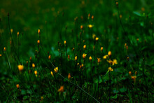 The Small Yellow Meadow Flowers Among Green Grass Were Shot In Macro Style. There Is Space For Text.
