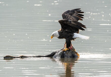 Bald Eagle Perched On A Rock In The Middle Of A Lake