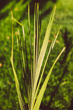 Close-up Of Palm Tree Leaf Outdoor In Sunny Backyard With Lawn All Around It