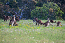 Eastern Grey Kangaroos In The Twilight