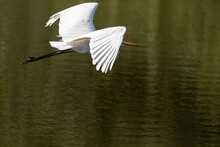 Great White Egret Ardea Alba Flies Over A Pond