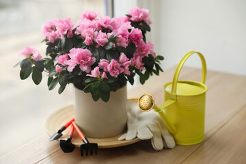 Beautiful house plant and gardening tools on wooden table near window