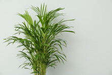 Exotic House Plant Against Grey Background. Space For Text