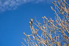 Western Bluebirds (Sialia Mexicana) Sit On A Tree.