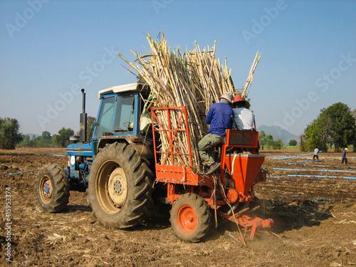 Fototapeta Sugar cane hasvest plantation obraz