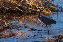 Great Blue Heron On The March