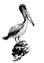 Pelican Bird Sitting On A Rock. Ink Black And White Drawing