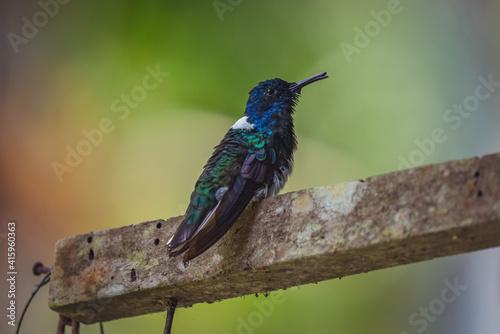 Fototapeta premium Closeup shot of a white-necked Jacobin hummingbird perched on a wooden branch