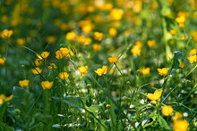Small Yellow Flowers Branch On Green Grass Background. Ranunculus Acris, Meadow Buttercup, Tall Buttercup, Common Buttercup, Giant Buttercup. Closeup, Selective Focus