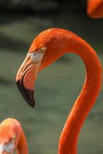 Close-up Profile Portrait Of A Pink Flamingo. The American Flamingo (Phoenicopterus Ruber) Lives In The Marine Coastal Of Caribbean And Galapagos. It's A Large Wading Bird With Reddish-pink Plumage.