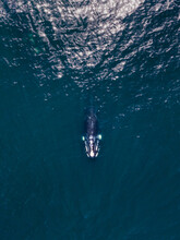 Aerial View Of Southern Right Whale, Eubalaena Australis, From Above Over Blue Atlantic Ocean In Cape Town, South Africa