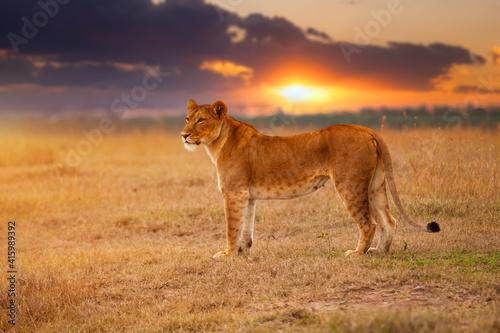 Obraz na plátně Lioness in the African savanna at sunset. Kenya.
