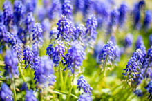 Blue Flowering Grape Hyacinths Muscari . Selective Focus