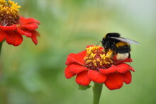 Bee Pollinates Flower In Garden