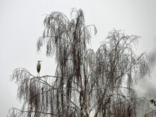 Silberreiher, Ardea Alba, Casmerodius Albus, Egretta Alba, Great White Egret, Common Egret, Great Egret,