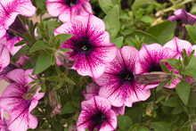 Pink And White Petunia Flowers In The Garden On A Background Of Green Leaves