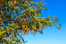 Acacia Pods With Seeds On The Tree