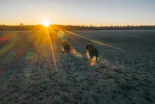 Powerful Bison Run Across The Field, A Beautiful Sunset And The Best Of The Sun