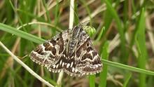 Mother Shipton Moth Callistege Mi 02