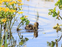 Squirrel In The Water