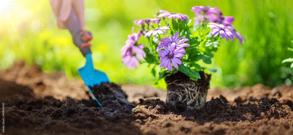 Fototapeta Woman hands seedling flowers into the black soil