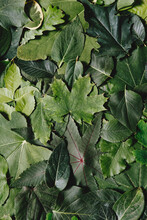 Pile Of Different Green Leafs.  Group Of Different Green Leaves Background With Copy Space. Spring Or Summer Season, Top View, Flat Lay