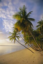Palm Trees And Beach, Pigeon Point, Tobago, Trinidad And Tobago, West Indies, Caribbean, Central America