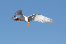 Royal Tern (thalasseus Maximus) In Flight With Wings Spread And Head Looking Down Searching For Food.
