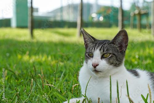 Fotomural 草むらで休憩する猫 キジ白