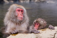 Japanese Macaque (Macaca Fuscata) (Snow Monkey), Mother And Baby Soaking In Hot Thermal Spring Pool, Joshin-etsu National Park, Honshu, Japan, Asia