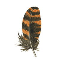 Striped Feather Of Owl Or Woodcock Isolated On White Background. Watercolor Hand Drawing Illustration. Brown And Orange Feather. Realistic Painting