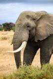 migration of elephants in amboseli park