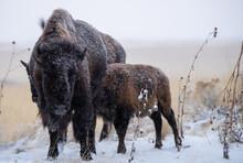Bison Cow And Calf On Antelope Island, Utah In Winter Snowfall