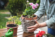 Florist Arranging Flower Pot With Geranium Plant In Wicker Basket. Gardening And Planting In Spring